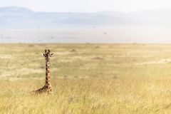 Único girafa do Masai que encontra-se em pastagem de África fotos de stock royalty free