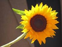 Único girassol amarelo fotografia de stock