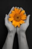 Único girassol dourado bonito Fotografia de Stock Royalty Free