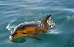 Único golfinho Fotos de Stock