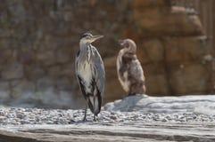 Único Grey Heron e um pinguim fotos de stock royalty free