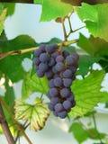 Único grupo de uvas maduras na videira foto de stock