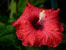 Único hibiscus em profundo - vermelho com branco e o amarelo foto de stock