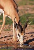 Único Impala vermelho Foto de Stock Royalty Free
