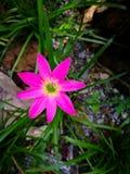 Único lírio roxo escuro da chuva em uma estação de mola em um jardim botânico Imagens de Stock