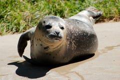 Único leão de mar Fotos de Stock Royalty Free