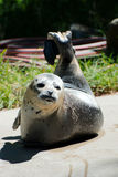 Único leão de mar Foto de Stock Royalty Free