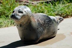 Único leão de mar Imagens de Stock Royalty Free
