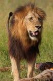 Único leão (panthera leo) no savana Imagem de Stock Royalty Free