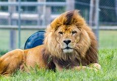 Único leão que olha a câmera em um jardim zoológico imagem de stock royalty free