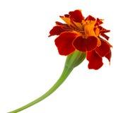 Único marigold de espalhamento Fotografia de Stock Royalty Free