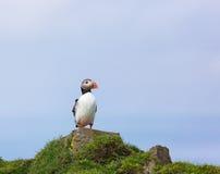 Único papagaio-do-mar Fotos de Stock Royalty Free