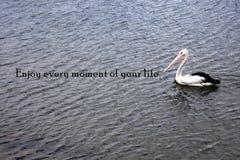 Único pelicano com um provérbio positivo fotos de stock