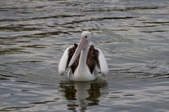Único pelicano na água Foto de Stock Royalty Free