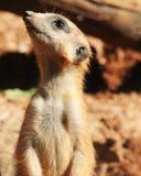 Único perfil de Meerkat que olha acima Fotografia de Stock