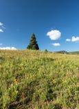 Único pinheiro em um prado florido a oeste de montículo com crista Foto de Stock Royalty Free