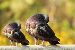 Único pombo que senta-se com um pegion pequeno duplicado do tamanho fotografia de stock royalty free