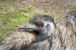 Único retrato da avestruz Imagem de Stock
