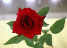 Único rosebud vermelho Fotos de Stock