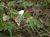 Único sino da flor branca imagens de stock