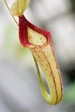Único sp do Nepenthes. flor Imagem de Stock