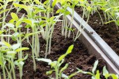 Sprouts Fotos de Stock