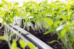 Sprouts Fotos de Stock Royalty Free