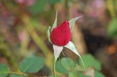 Único tiro de uma rosa vermelha não ainda na flor foto de stock