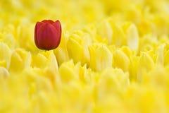 Único Tulip vermelho Foto de Stock Royalty Free
