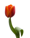 Único tulip vermelho isolado no fundo branco Foto de Stock