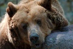 Único urso marrom Foto de Stock Royalty Free