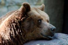 Único urso marrom Imagem de Stock Royalty Free