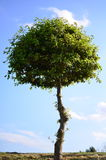 Único verão do estuário de Wrabness da árvore Fotografia de Stock