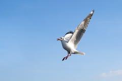 Único voo da gaivota de mar contra o fundo do céu azul Imagens de Stock Royalty Free
