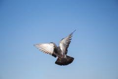 Único voo do pombo no ar imagens de stock royalty free