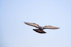 Único voo do pombo no ar imagem de stock royalty free