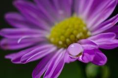 Únicos ásteres alpinos de florescência Fotografia de Stock Royalty Free