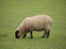 Únicos carneiros Imagens de Stock