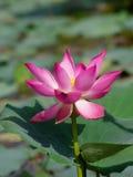 Únicos lótus cor-de-rosa agradáveis Foto de Stock Royalty Free