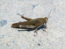 Únicos locustídeo no deserto Imagens de Stock