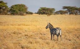 Únicos zebra comum, quagga do Equus, na paisagem africana com grama e as árvores altas no fundo foto de stock royalty free