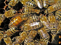 Útero entre abejas. Imágenes de archivo libres de regalías