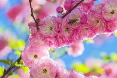 Über eine Biene auf der bernsteinfarbigen rosafarbenen Niederlassung stockfotos