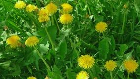 Über irischem Gänseblümchen der Ansicht oder Taraxacum campylodes gelbe Blume des jungen dandellion im niedrigen Winkel des üppig stock video