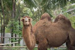 Über Kamel Stockfotografie