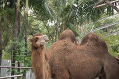 Über Kamel Lizenzfreies Stockfoto