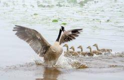 Über schützendem Muttervogel Stockfoto
