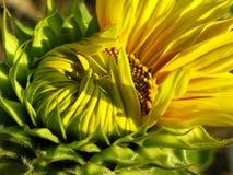 Über zu voller Blüte Lizenzfreie Stockfotografie