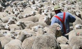 Überall vorhandene Schafe. Stockbilder
