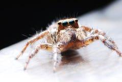 Überbrücker-Spinne Stockfoto